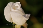 A photo of a budding white rose on display in the Rose Garden at the Montreal Botanical Garden in Montreal, Quebec.
