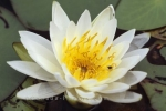 Photo: White Water Lily