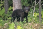 Out in the wilderness of Ontario, Canada, wild animals such as this baby black bear can appear around any corner or from behind a bush at any given time.