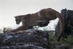 A wild cougar picks the right moment to pounce on its prey in the wilderness on Vancouver Island in British Columbia, Canada.