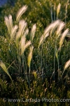 On the side of the road along the Frenchman River Valley Ecotour Route in Saskatchewan, Canada, the wild grass grows freely as the florets blow in the breeze.