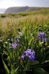 Photo: Wild Iris Flowers Newfoundland