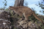 Photo: Wild Mountain Lion Vancouver Island