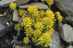 Bright yellow wildflowers bloom from beneath the rocks in Banff National Park in Alberta, Canada making a unique opportunity for a picture.