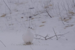Photo: Willow Ptarmigan Winter Tundra Hudson Bay Churchill Manitoba