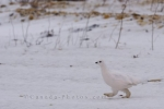 This bird named the Willow Ptarmigan is barely visible amongst the snow in the Churchill Wildlife Management Area in Churchill, Manitoba.