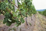 Photo: Wine Grapes Okanagan Valley