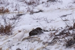 Camouflaged amongst the snowy tundra of Churchill, Manitoba a Willow Ptarmigan is one type of bird that is hard to spot in the winter around the Hudson Bay.