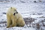 Photo: Yawning Polar Bear Picture