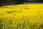 Photo: Yellow Canola Field Blue Mountain District Ontario