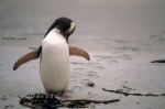 Photo: Yellow Eyed Penguin