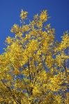Photo: Yellow Fall Leaves