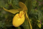 Photo: Yellow Ladys Slipper Flower
