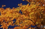Photo: Yellow Tree Leaves Ontario Canada