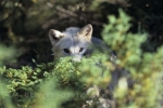 Photo: Young Arctic Wolf