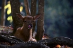 Photo: Young Deer Picture