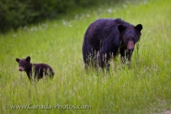 American Black Bears Ursus Americanus Sow And Cub