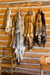 Animal Pelts Picture Last Mountain House Provincial Park