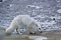 Arctic Fox Foraging Churchill Manitoba