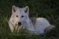 Arctic Wolf Resting Picture