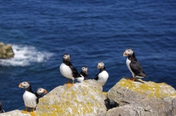 Atlantic Puffin Colony Bird Island Newfoundland