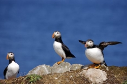 Atlantic Puffin Flight Newfoundland Canada