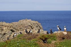 Atlantic Puffins Colony Coastal Shores Bird Island Newfoundland
