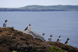 Atlantic Puffins Group Bonavista Peninsula Newfoundland