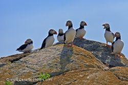 Atlantic Puffins Nesting Grounds Bird Island Newfoundland