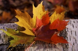 Autumn Colored Maple Leaves Rock Lake Algonquin Provincial Park