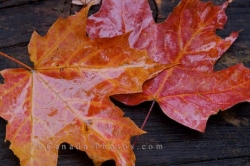 Autumn Leaf Display Algonquin Provincial Park