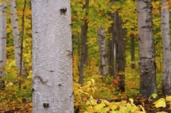 Autumn Tree Bark Algonquin Provincial Park