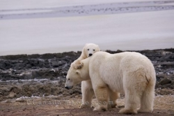Baby Polar Bear Playing Churchill Manitoba