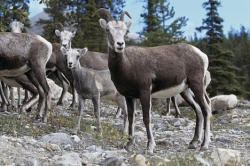 Big Horn Sheep Alberta