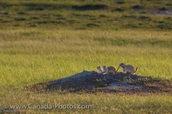 Black Tailed Prairie Dogs Picture Frenchman River Valley Saskatchewan