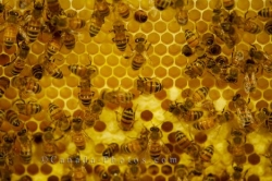 Busy Honey Bees Picture