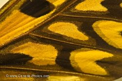 Butterfly Wing African Giant Swallowtail