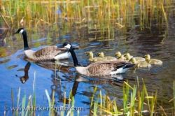 Canada Geese Parents With Goslings Lake Erie Shoreline