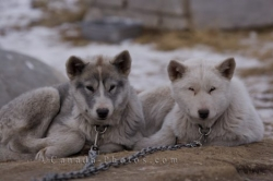 Canadian Eskimo Dogs Churchill Manitoba