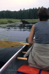 Canoe Moose Animal Watching