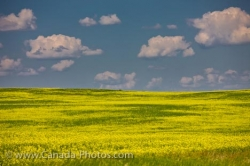 Canola Field Summer Clouds Qu Appelle Valley Saskatchewan