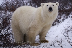 Polar Bear Curious Face Bear Watching Manitoba
