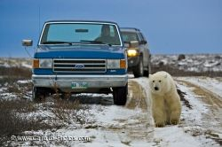 Churchill Polar Bear Hudson Bay Manitoba