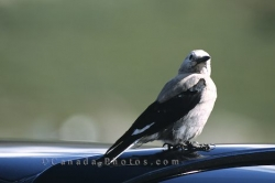 Picture Of A Clark's Nutcracker Bird Alberta