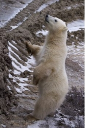 Curious Baby Polar Bear Tundra Buggy Churchill