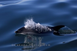 Cute Atlantic White Sided Dolphin Bay Of Fundy Nova Scotia