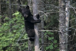 Cute Black Bear Photo