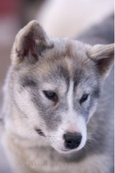 Cute Canadian Eskimo Dog Puppy Churchill Manitoba