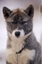 Cute Canadian Eskimo Dog