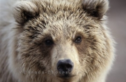 Face Shot Grizzly Bear